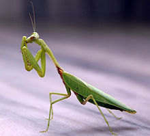 220px-praying_mantis_india1