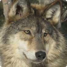graywolf2_ashleymcpherson_219x2191